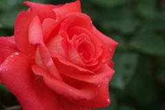 六月の薔薇-ニューアベマリア