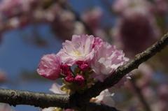 子安観音堂の桜-5