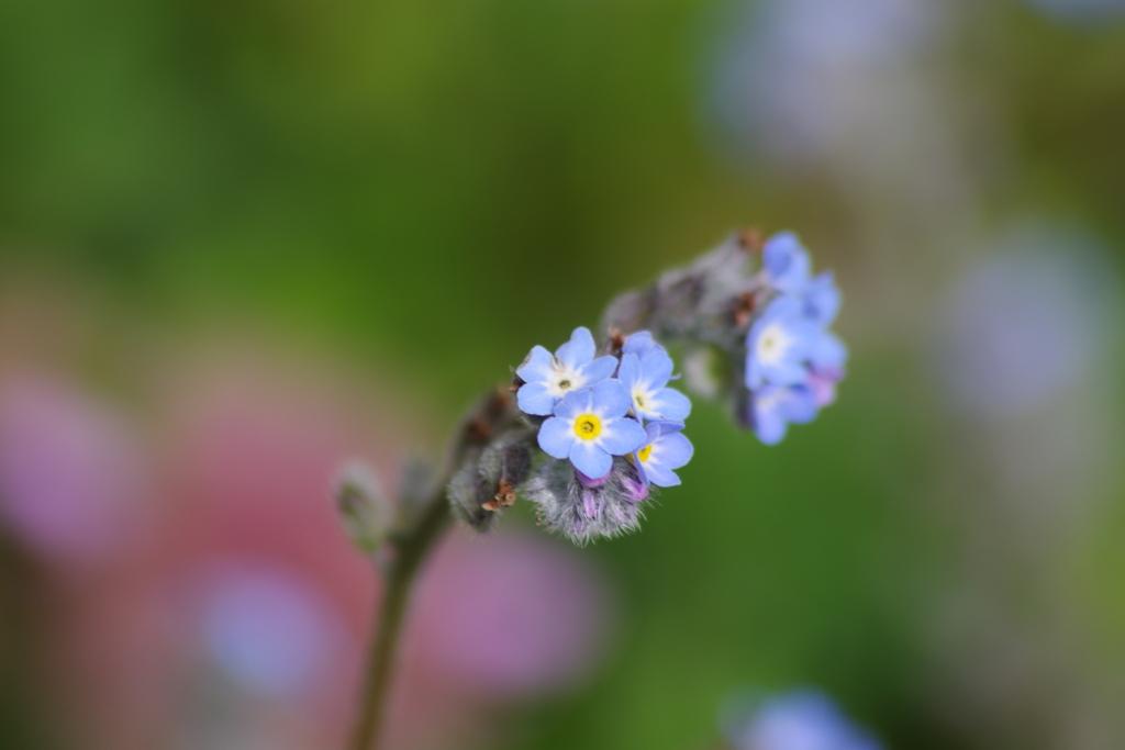 春を待つ心‐勿忘草