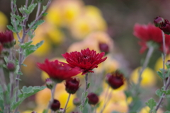 花散歩‐赤い小菊