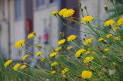 花散歩-アパートのブタナ