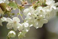 霞城の桜‐ウコン