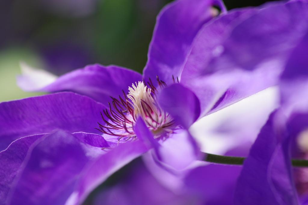 家の周りで-紫のクレマチス