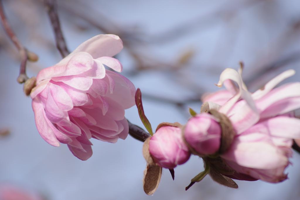 花散歩‐シデコブシ
