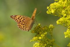 秋の野草園-オミナエシとミドリヒョウモン♀