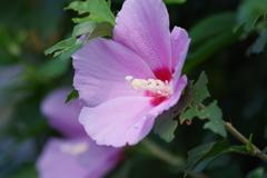 花散歩-ピンクの木槿
