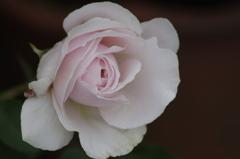 2018.5.18の忘れ物‐ピンクの薔薇