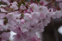 花散歩₋十月桜
