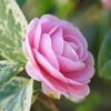 花散歩-斑入り葉の乙女椿