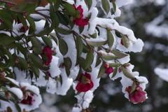 雪の朝-山茶花の雪1