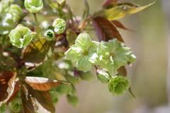 霞城の桜‐御衣黄