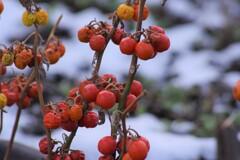 冬でも赤い実-花茄子