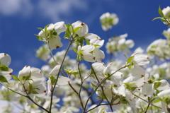 花散歩-青空が気持ちよい