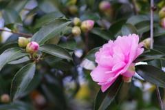 花散歩-ピンクの山茶花