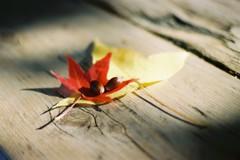 落ち葉、団栗