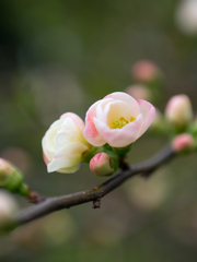 ほほ染めて春
