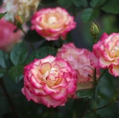 rose-garden ⅩⅡ