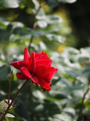 rose-garden ⅩⅤ