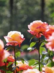 rose-garden Ⅹ