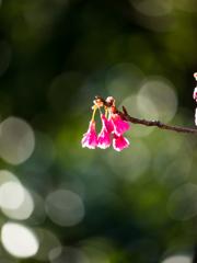 春の訪れを告げつベル