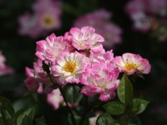 rose-garden Ⅰ