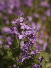 紫に染まる野辺