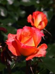 rose-garden Ⅷ