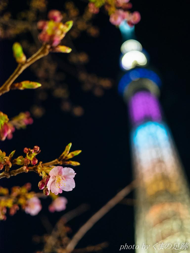 桜バレンタイン