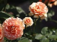 rose-garden Ⅳ