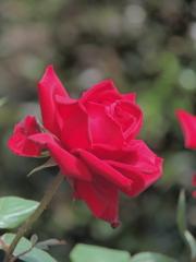 五月の赤い薔薇