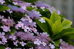 北斎の紫陽花