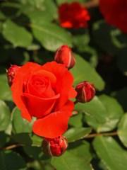 rose-garden Ⅵ