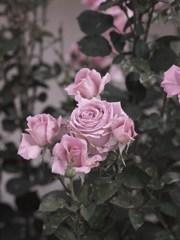 rose-garden Ⅲ
