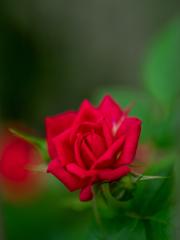 my home rose