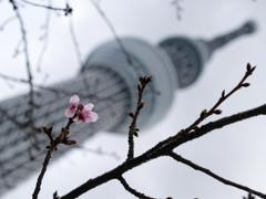 ツリーに桜咲く