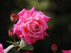 rose-garden ⅩⅠ
