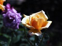 rose-garden ⅩⅢ