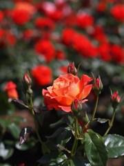 rose-garden Ⅶ
