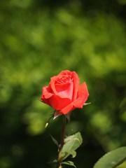 rose-garden Ⅴ