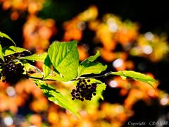 秋のムラサキシキブ