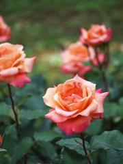 rose-garden ⅩⅥ