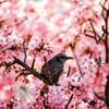桜の園の世捨て鳥