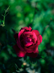 THE薔薇:30mm