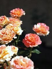 rose-garden ⅩⅣ