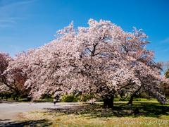 桜色のゆりかご