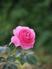 rose-garden ⅩⅦ