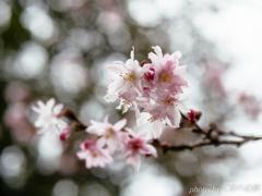 春まぼろしの