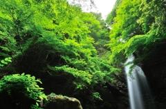 新緑の白藤滝