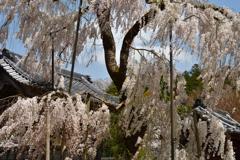 大野寺の老桜 Ⅰ