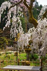 大野寺の老桜 Ⅱ